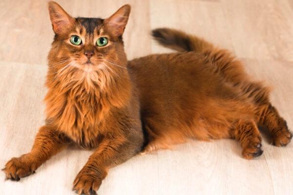 raza de gato somalí características