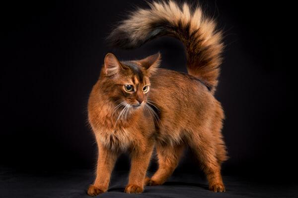 raza de gato somali