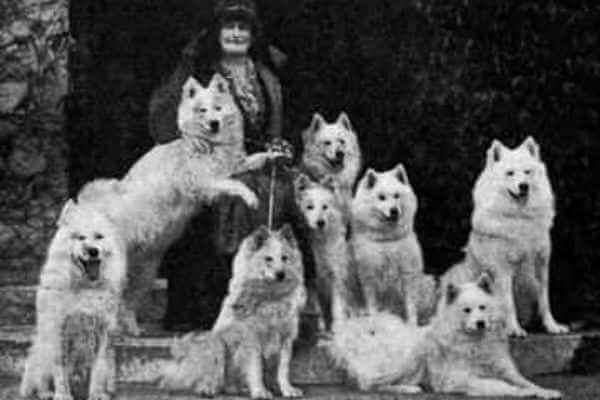 historia de la raza samoyedo