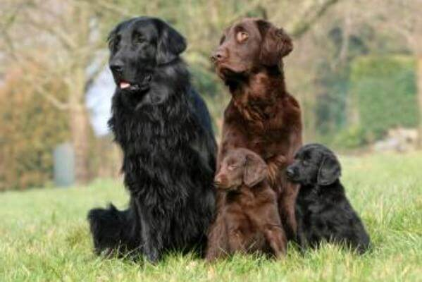 flat coated retriever salud