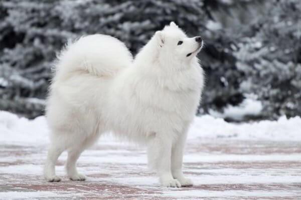 raza de perro samoyedo características