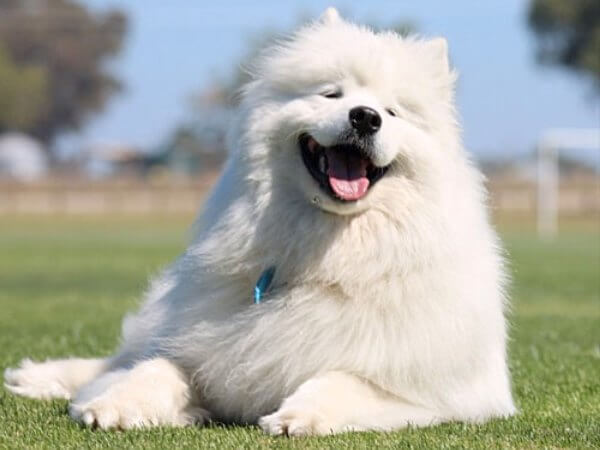 comportamiento del perro samoyedo