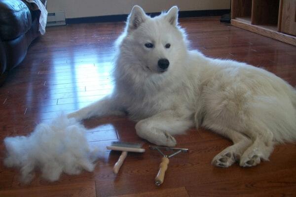 perro samoyedo cuidados
