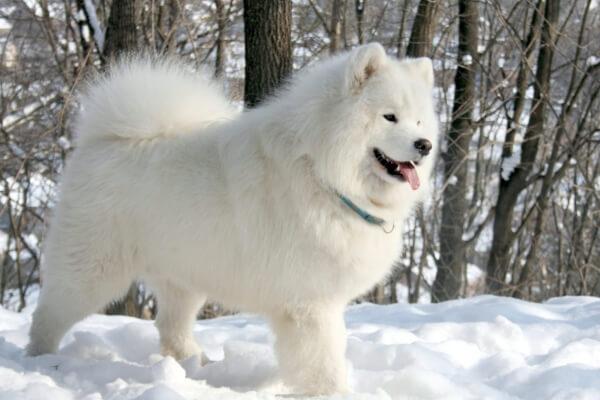 taxonomía raza de perros samoyedos