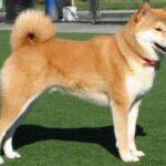 raza de perro shiba inu