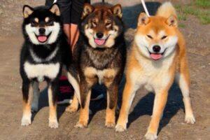 colores raza de perro shiba inu