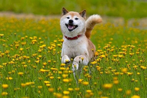 cuál es el origen del perro shiba inu
