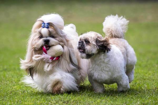 raza de perro miniatura shih tzu personalidad