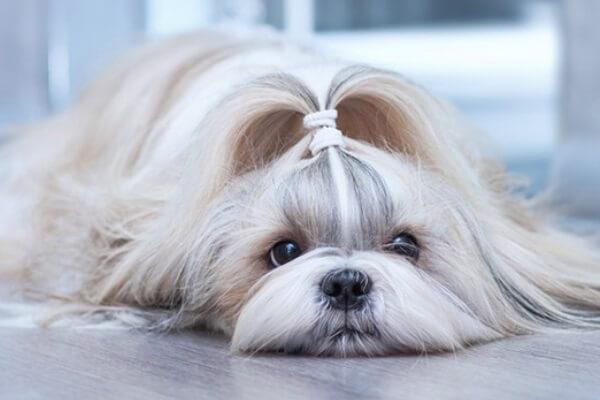temperamento del perro shih tzu