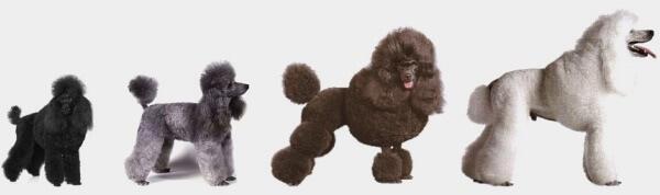 medidas raza de perro caniche