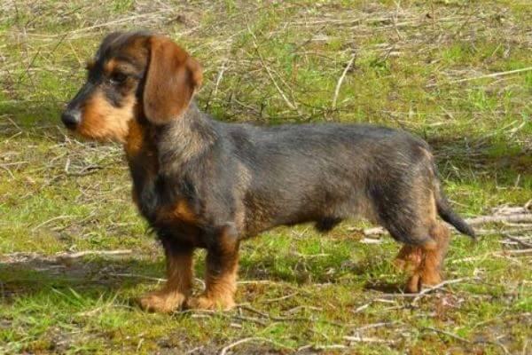 características perro dachshund