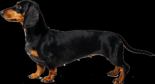 cómo es el perro teckel