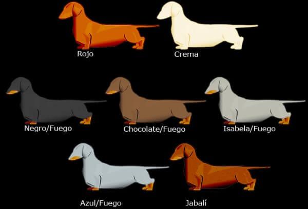 colores raza d perro teckel