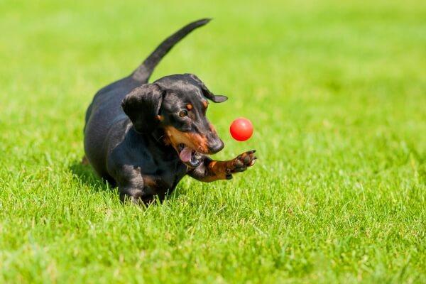 cómo se comporta el perro salchicha