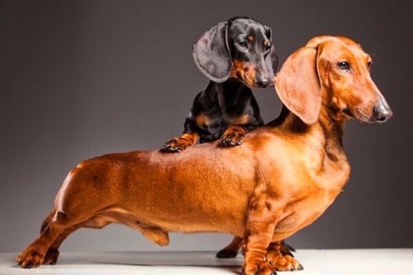 perro salchicha estándar de la raza