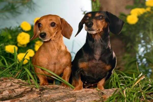 variedad perro salchicha kanichen