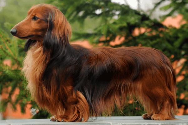 variedades de pelo raza de perro teckel