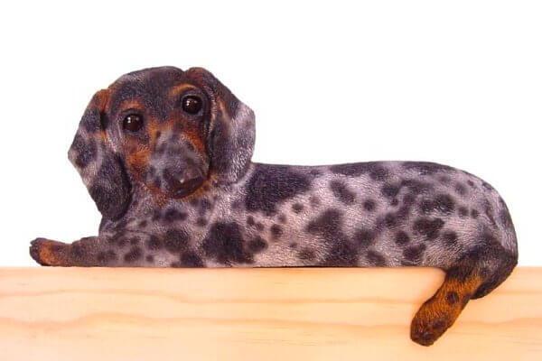 perro salchicha de pelo corto