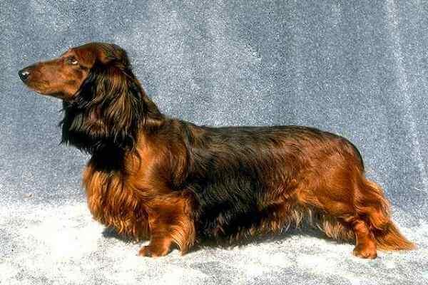 perro salchicha de pelo largo