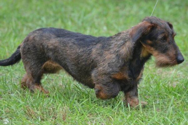 temperamento del perro dachshund