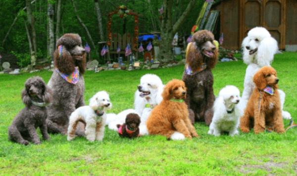 poodle variedades
