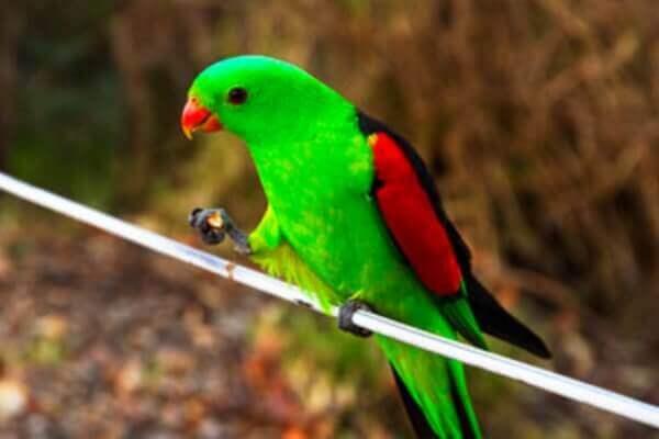 cría y reproducción papagayo alas rojas