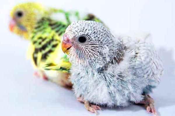 polluelos de aves exoticas
