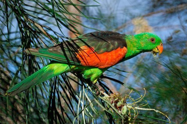 hábitat papagayo de alas rojas