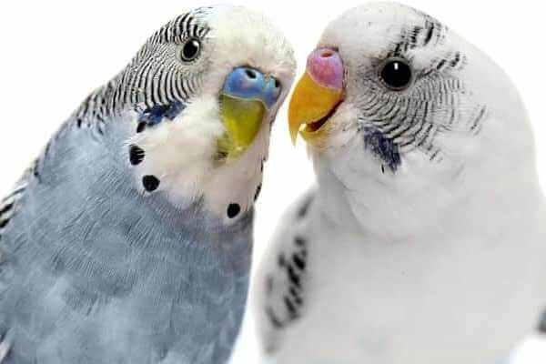 cómo es el cortejo de las aves exoticas
