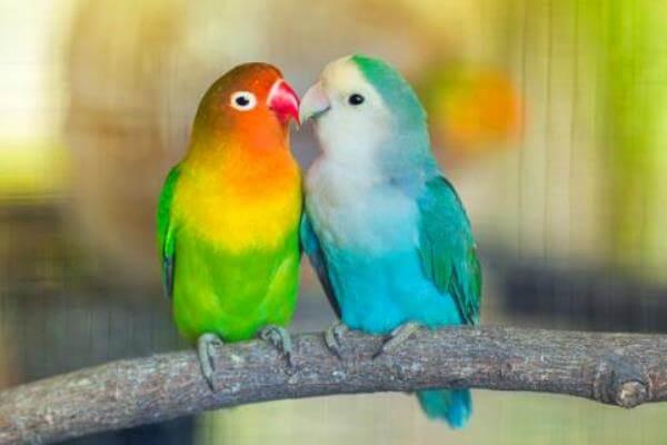cómo emparejar a las aves exoticas
