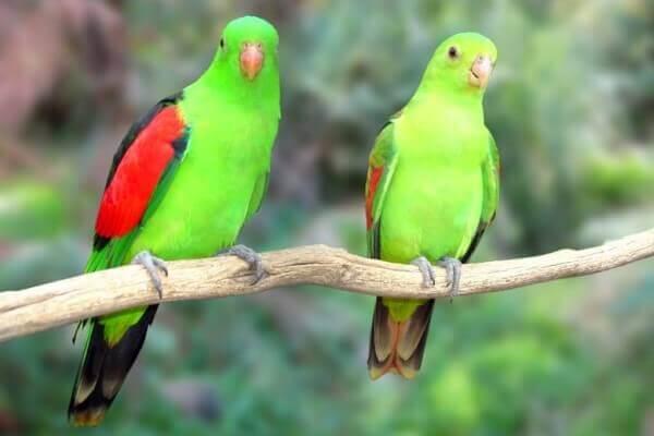 papagayo de alas rojas descripción