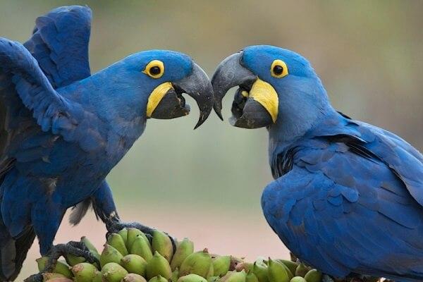 cómo se aparean las aves exoticas