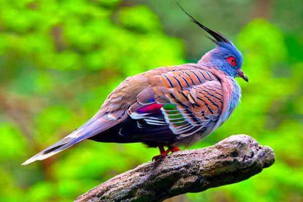 aves exóticas columbiformes