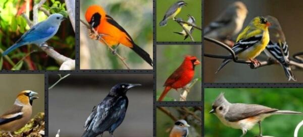 aves exóticas passeiformes