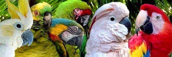 aves Psittaciformes