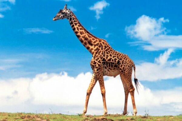 cómo es la jirafa para niños