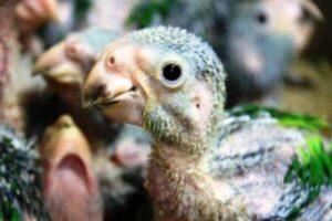 polluelos de tucán