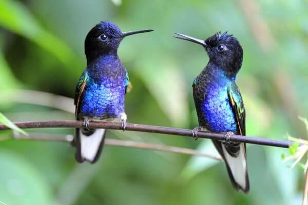 qué clase de animal es el colibrí