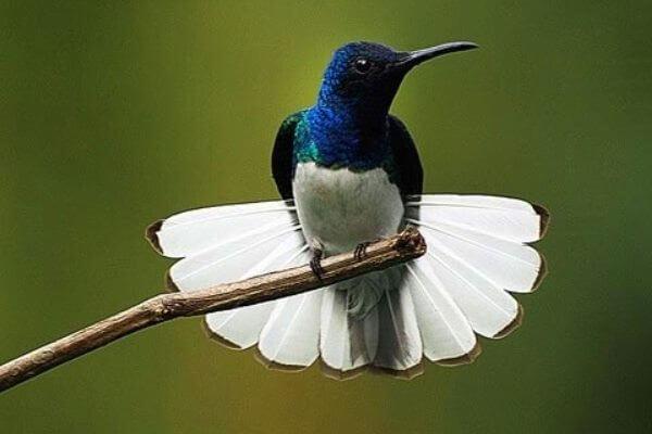 colibri tamaño y peso