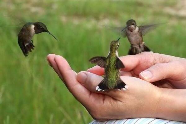 ¿Cuánto pesa y mide un colibrí?