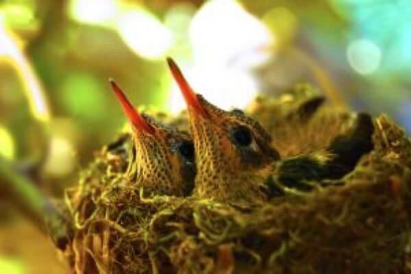colibrí reproducción