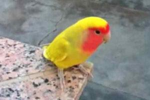 agapornis roseicollis color amarillo