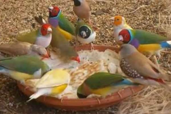 Alimentación de las aves exóticas