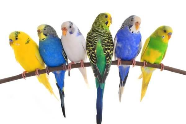 ¿cuál ave exótica comprar?