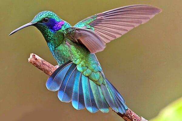 esperanza de vida colibrí