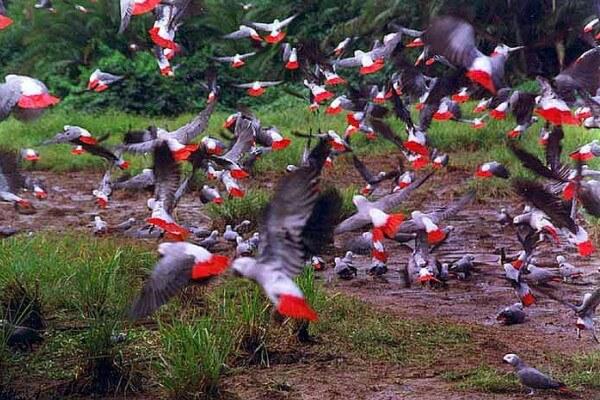 hábitat natural loro gris