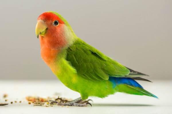 cómo dar de comer a un ave exótica