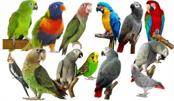 grupo de aves exoticas Psitaciformes
