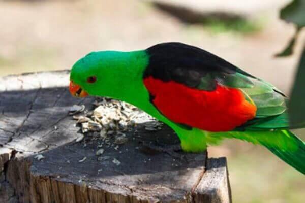 papagayo alirrojo alimentación