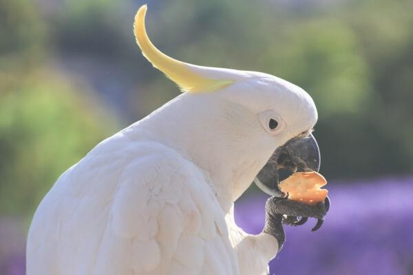 aves exóticas alimentación